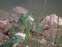 Byk żaby Fotografia Stock