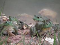 Byk żaby Zdjęcia Royalty Free