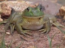 Byk żaby Obraz Royalty Free
