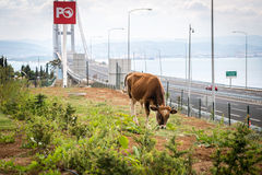 Byk blisko Osman Gazi mosta w Kocaeli, Turcja Obraz Stock