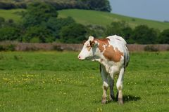 Byk, Bullock, krowa Obrazy Royalty Free