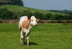 Byk, Bullock, krowa Zdjęcia Stock