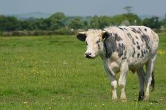 Byk, Bullock, krowa Zdjęcie Stock