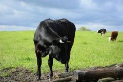 Byk i krowy na zieleniejemy pole Fotografia Stock