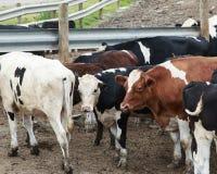 Byk i krowy w błotnistym paśniku Obrazy Stock