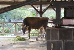 Byk który iść wokoło i wykręca out sok od trzciny cukrowa Mauritius Zdjęcia Stock
