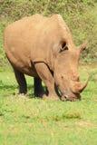 byk nosorożec white Zdjęcia Royalty Free