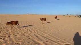 Byk podróż przez piasków zdjęcie wideo