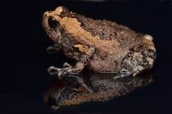 byk skrzyknąca żaba fotografia stock