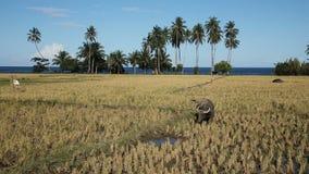 Byk w ryżowym polu zbiory