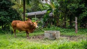 Byk wiązał w górę pola w tropikalnym lesie deszczowym w Kiriwong w zdjęcie royalty free