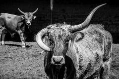 Byk z koślawymi rogami z innym bykiem w czarny i biały obrazy royalty free