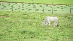 Byka łasowania trawa przy paśnikiem zbiory wideo