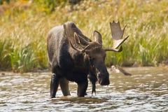 byka łoś amerykański Zdjęcie Royalty Free