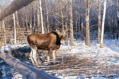 Byka łoś amerykański w śnieżnym krajobrazie fotografia royalty free