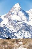Byka łoś amerykański z Tetons Zdjęcie Stock