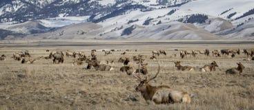 Byka łoś i łosia stado w krajowym łosia schronieniu w żółtym obszarze trawiastym fotografia royalty free