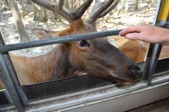 Byka łoś jest zwierzęciem domowym od wycieczki autobusowej Zdjęcia Stock