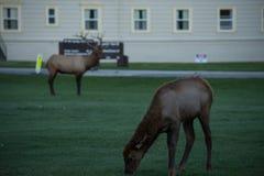 Byka łosia «taty «dopatrywanie strażnik Nad Śliczną dziecko łosia łydką Przy Mamutowymi Gorącymi wiosnami, Yellowstone park narod obrazy stock