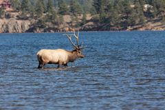 Byka łosia odprowadzenie w Płytkim jeziorze Obrazy Royalty Free