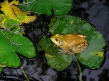 byka żaby lelui ochraniacz Zdjęcie Royalty Free