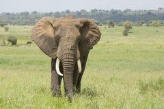 Byka Afrykański słoń w Tanzania (Loxodonta africana) Zdjęcia Royalty Free