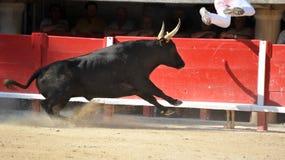 byka bieg Zdjęcie Stock