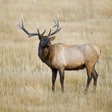 byka bugling łoś Yellowstone fotografia stock