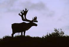 byka caribou sylwetka Zdjęcie Royalty Free