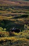 byka duży łoś amerykański Fotografia Royalty Free