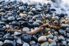 Byka Kelp na Skalistej plaży fotografia royalty free