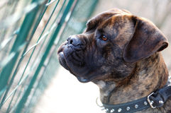 Byka mastifa pies obrazy royalty free