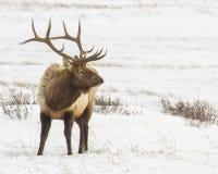Byka łoś w śniegu Fotografia Royalty Free