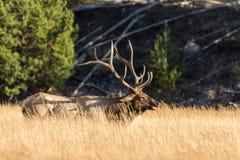 Byka łoś w Wysokiej trawy łące Zdjęcie Royalty Free
