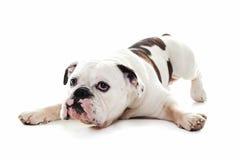 Byka psi lying on the beach w białym studiu fotografia royalty free