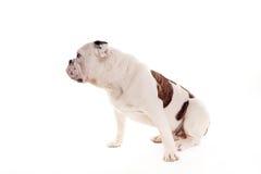 Byka psi obsiadanie w pracownianym dopatrywania dobrze zdjęcie royalty free