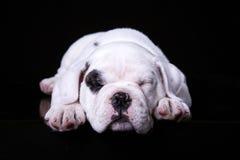 Byka psi szczeniak, kłama frontową stronę fotografia royalty free