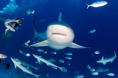 Byka rekin podczas gdy gotowy atakować podczas gdy karmiący Fotografia Royalty Free