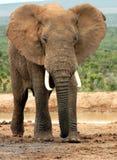 byka słoń Zdjęcie Royalty Free