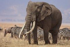 byka słoń Fotografia Royalty Free