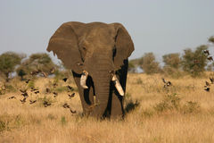 byka słoń Obrazy Royalty Free