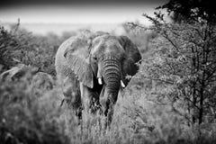 Byka słoń Obrazy Stock