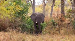 Byka słoń Zdjęcia Stock