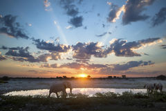 Byka słoń przy zmierzchem zdjęcia royalty free
