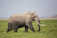 Byka słoń w Amboseli, Kenja Zdjęcia Stock
