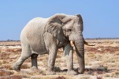 Byka słoń w Etosha parku narodowym w Namibia, Afryka Obraz Royalty Free