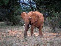 Byka słoń w Kenijskim parku narodowym Fotografia Stock