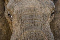 Byka słoń w popołudnia świetle zdjęcia stock