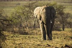 Byka słoń w popołudnia świetle fotografia stock