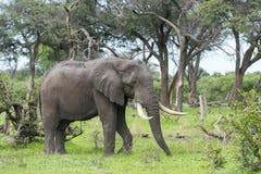 Byka słoń z masywnymi kłami Zdjęcie Royalty Free